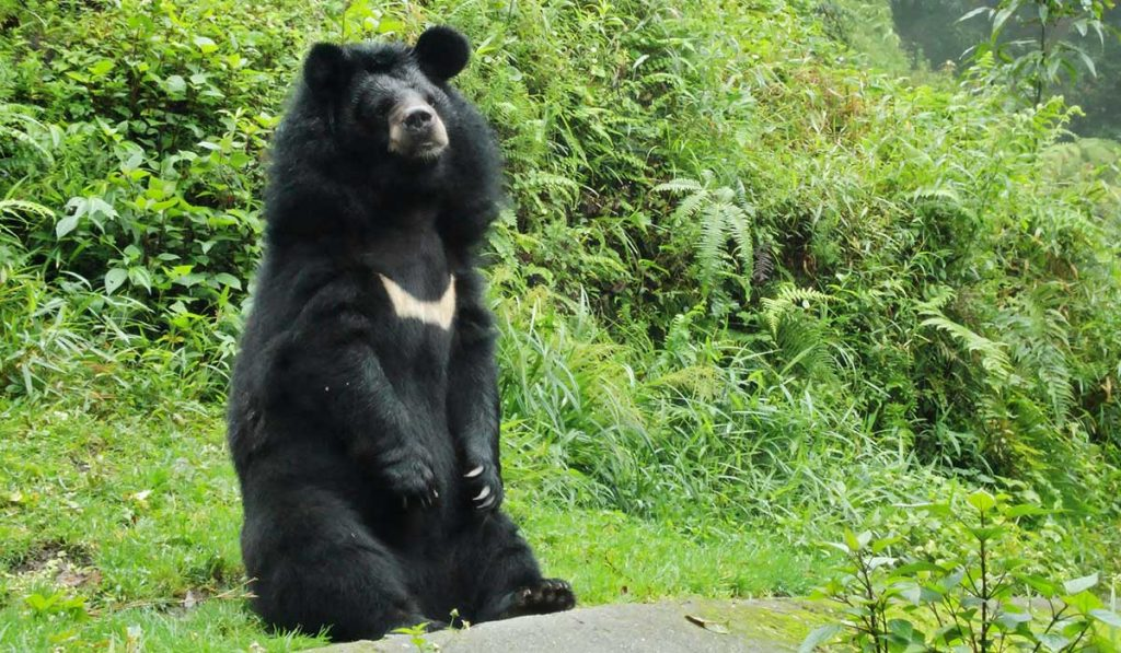 Himalayan Black-Bear